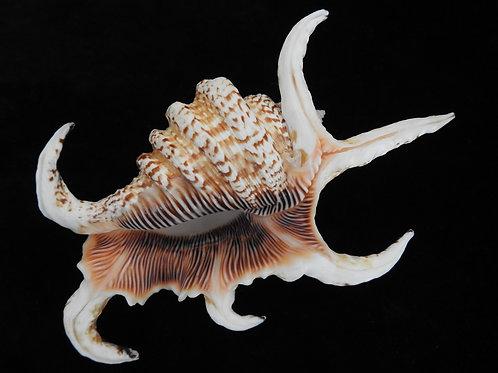 Lambis chiragra f. arthritica 126.4mm