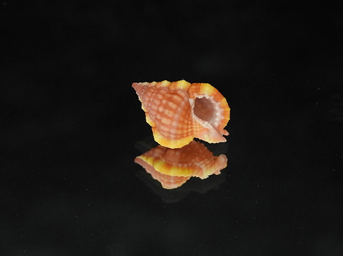 Gyrineum roseum 19.7mm
