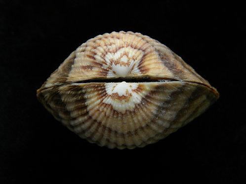 Glycymeris pectunculus 57.4mm (GIANT)