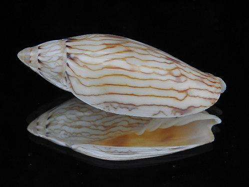 Amoria turneri 67.5mm