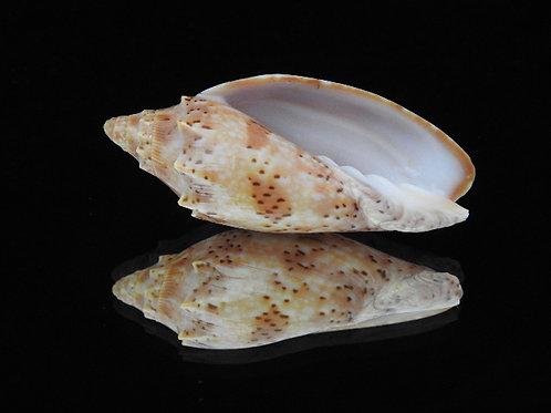 Cymbiola pulchra f. neilseni 68.8mm