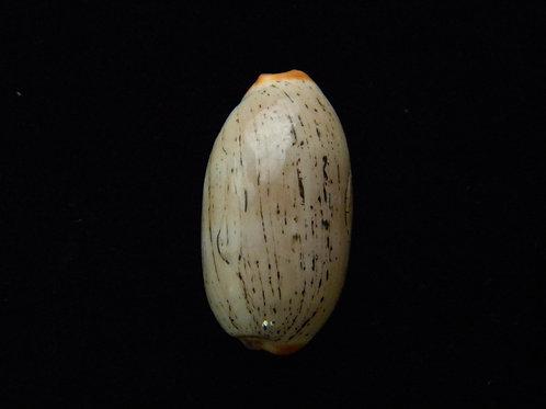 Cypraea isabella 30mm