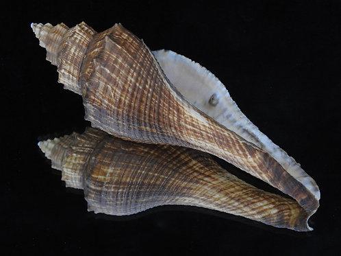 Volema carinifera 160mm