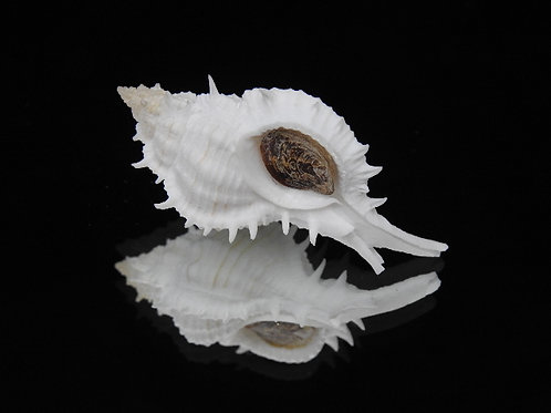 Siratus ciboney 54.2mm