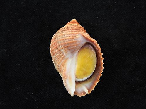 Nucella monodon imbricata 38.1mm