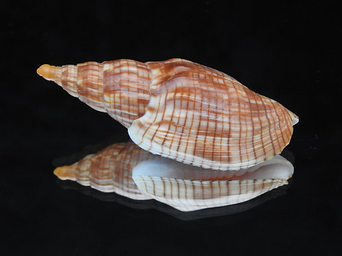 Lyria cloveriana 74.6mm
