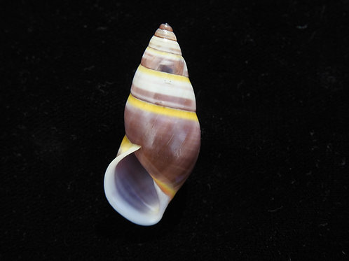 Amphidromus hongdaoae 39.2mm (NEW SPECIES)