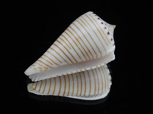 Conus hirasei 46.5mm