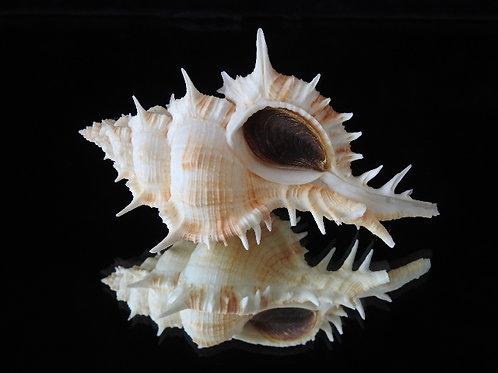 Siratus pliciferoides 108.6mm