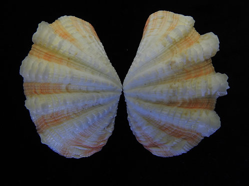 Tridacna maxima 86.5mm