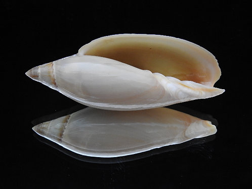 Amoria gravi 86.6mm