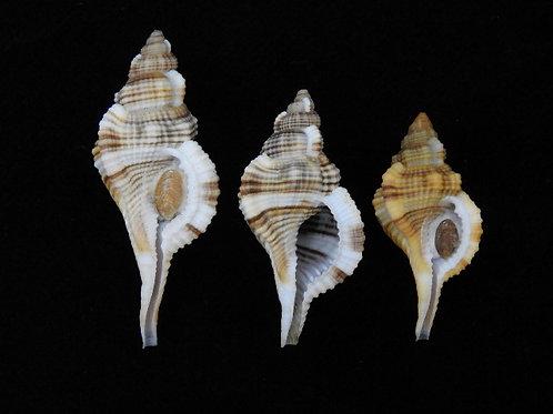 Reticutriton pfeifferianus