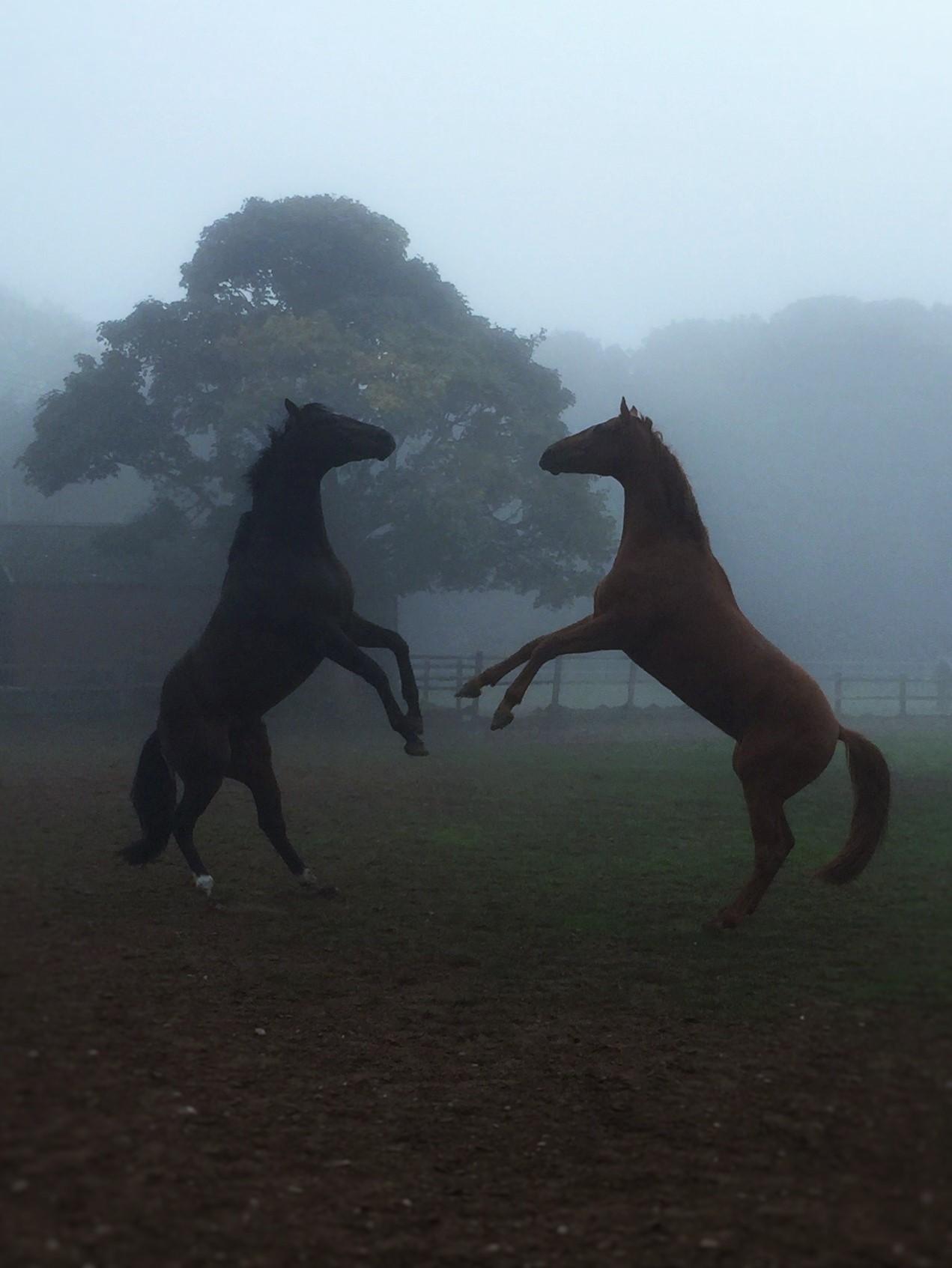 REARING HORSES
