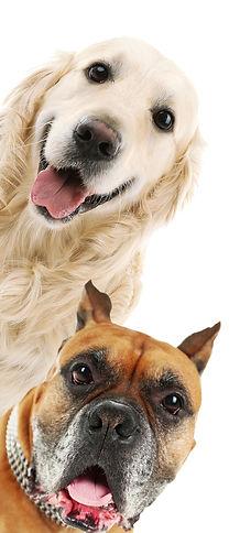 dog grooming, labrador, cute dog