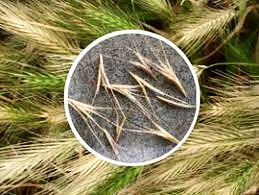 Grass Seeds - How to Avoid Them!