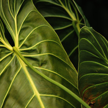 NorthShore Leaves at Night