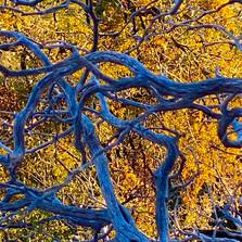 Blue Branches, Idyllwild