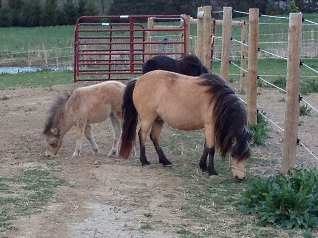 Indiana Miniature Horse breeding & selling