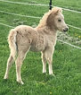 2018 PALOMINO FILLY.jpg
