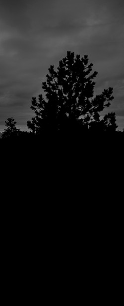 A silloutte of a pine treeblk wht