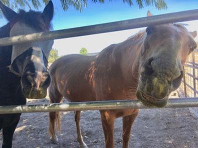 two-horses-barleygrass-zoopharmocognosy.