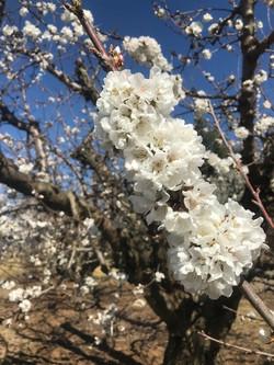Spring Cherry Blossoms - Circa 2020