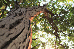 Walnut Orchard - Circa 2020