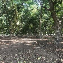 Walnut Orchard.PNG