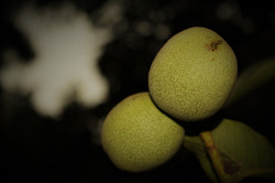 Walnuts Prior to Harvest