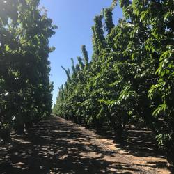 Cherry Orchard Post-Harvest - Circa 2020