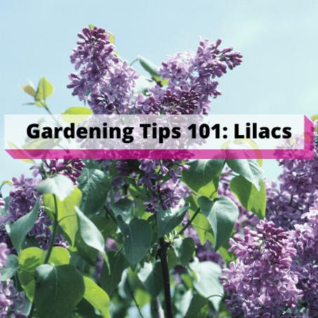 Gardening Tips 101: Lilacs