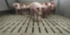 schweine spalten (2).png