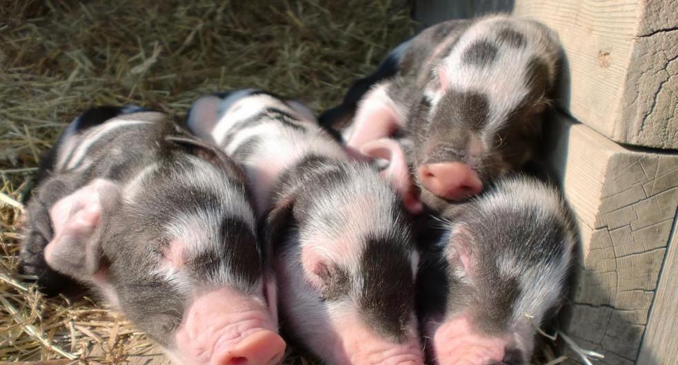 Babyschweine