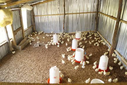 The first 300 chicken