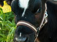 livestock_ear_tag_0.jpg