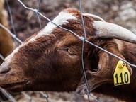 cattle_identification_ear_tag_marking_0.