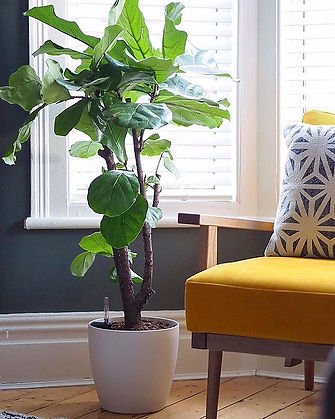 Fiddle leaf living room.jpg