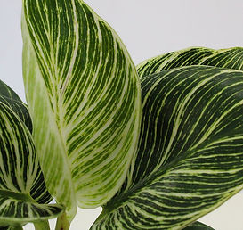 Philodendron close up.jpg