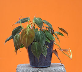 Philodendron in pot.jpg