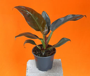 Philodendron Imperial Red.jpg