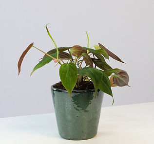 Philodendron micans.jpg