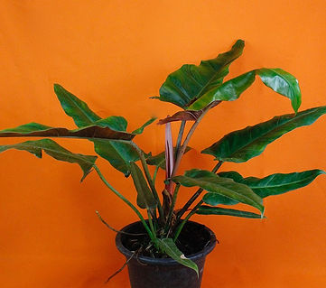 Philodendron Weeks Red.jpeg