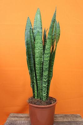 Sansevieria Zeylanica.jpg