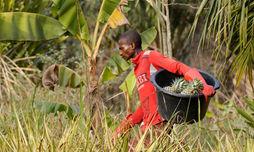 Ausbau Ananasproduktion