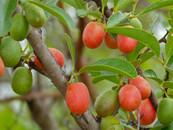 Sourplum_(Ximenia_caffra)_fruits_(119046