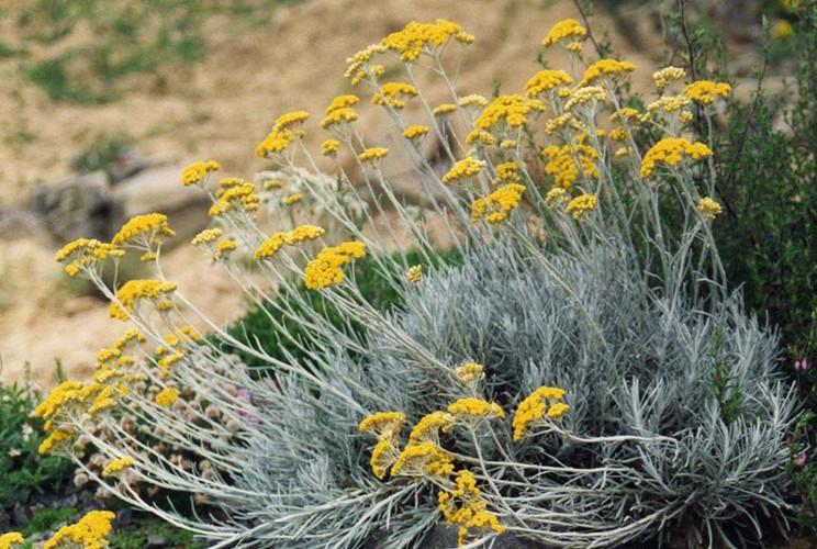 Helichrysium Essential Oil.jpg