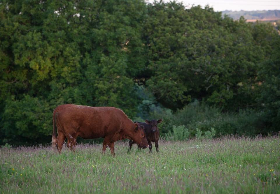 Cusgarne Cattle 2.jpg