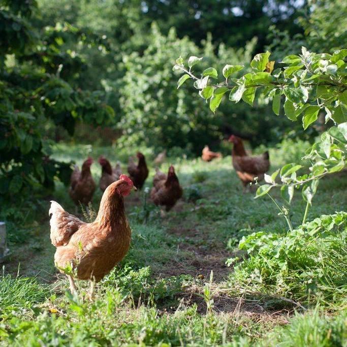 Cusgarne chickens