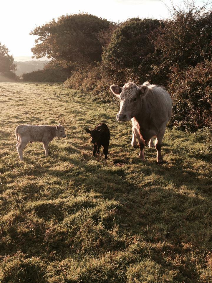 Cusgarne Cattle.jpg