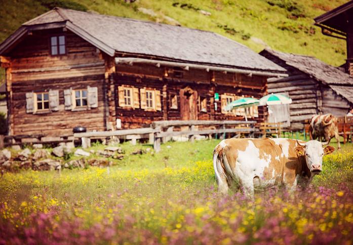 Stoanerhütte Blumenwiese mit Kuh Alphütt